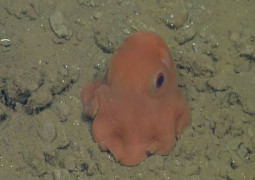 Scientists discover insanely cute octopus